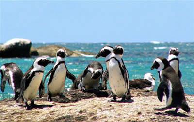 Simonstown pinguini